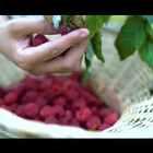 #古香古食#小时候每到这个季节就喜欢去山上疯,满山跑来跑去摘树莓、边摘边吃,吃的一嘴乌黑心里还美的不要不要的,回家就是一顿打,挨完还得自个儿去洗脸洗衣服,满眼都是回忆……只是小时候不知道它还能做成香香甜甜的树莓酱!#美食#(树莓酱有人喜欢吗?没人喜欢的话我要逮5个小朋友每人送一罐!)