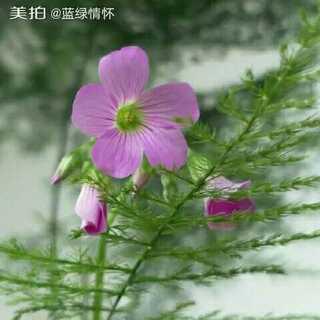 #逛拍##我家阳台-美丽的植物花卉-三叶草花##手机摄影#