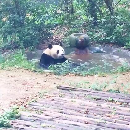 迎迎球泡澡🛁#熊猫#