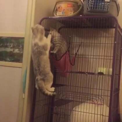 #宠物##喵星人#弹跳能力一级棒的奥利👍