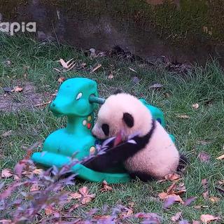 """#也就才看二十遍#小木马如此高冷,熊猫宝宝""""双雄""""能否征服它呢?"""