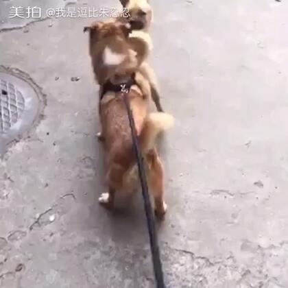 公狗把鸿沟,推倒了#宠物狗狗#