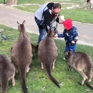 来到了澳洲 当然得和袋鼠们打个招呼啊#Ethan游记##在路上##宝宝频道官方账号#我以为Ethan会害怕袋鼠呢 结果....买了袋鼠零食 Ethan放手心里亲手喂袋鼠...这是和袋鼠的第一次亲密接触...七年前我第一次来墨尔本的时候 爸爸就带我来了这里 现在带Ethan回来了😝