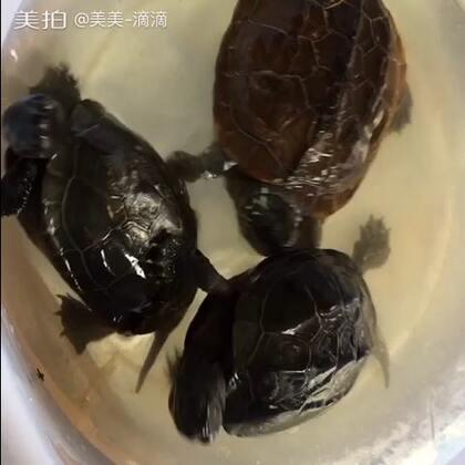 看爸爸喂乌龟🐢吃肉