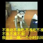 这是我见过二哈被虐的最惨的一次。心疼狗子20秒。😂😂😂#搞笑##宠物#