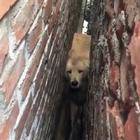 狗狗卡在墙缝里,主人刨墙救狗,感动众人。