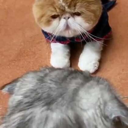 #宠物#桑呆:别以为我脸大就不会翻脸😂😂😂@猫侠