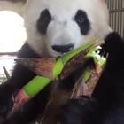 看着大熊猫吃东西好有食欲!又萌又可爱!😂#搞笑#