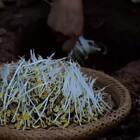 """#古香古食# 每到夏天,绝对少不了的日常就是""""种豆芽"""",刨个坑儿浇点水,撒上豆子盖上盖儿。剩下的,就交给时间吧!简单到手残星人都能轻松搞定的新鲜脆嫩豆芽苗就这样种好了!一起来试试😝(随意逮10位真爱粉每人送两斤我家的绿豆子+视频最后装毛血旺的那个天然原木大碗盆❤️)"""
