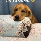 #宠物##搞笑#大家好,刚开通了微博 大家可以关注一下,微博搜索:金毛轮胎