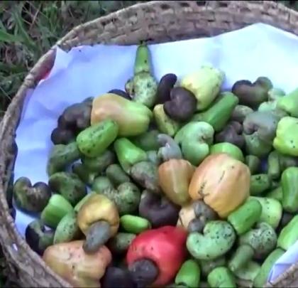 印度老奶奶从树上摘下腰果,煮出一锅美味,喂孙女们吃