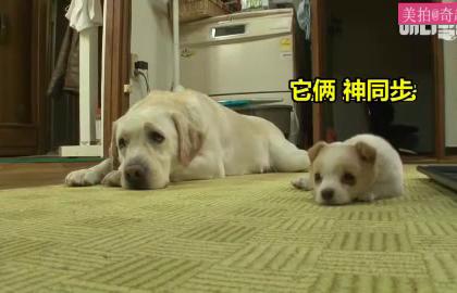 #宠物#有一种狗叫别人家的狗,这绝对是神犬!