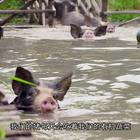 看了这个视频,我觉得自己还没一只猪过的舒服😭