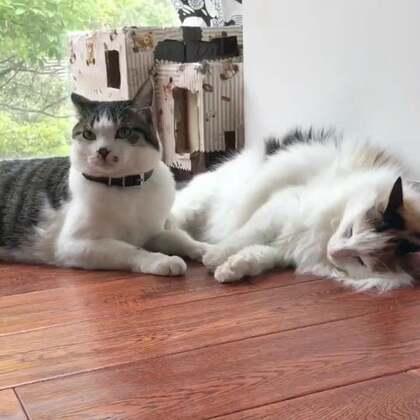 #一起走进西蒙剧#西蒙被麻麻揍了😱,为啥?😨请看【西蒙剧】😜这是六月板凳王@叮当猫喵喵喵😽 点播。#宠物#