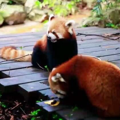 萌萌的吃货小熊猫#如果不喵#