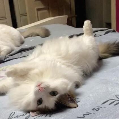 #宠物#可爱的毛毛球,你这是萌屎人,不偿命?……😍😚😚😚