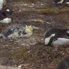 见过企鹅拉屎没?心疼最后一个。。。#动物#