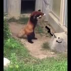 还是之前那个小熊猫,这次加了动画后更萌了!!!石头人:不许动,卖个萌才准走!!!😂😂😂#搞笑##宠物#