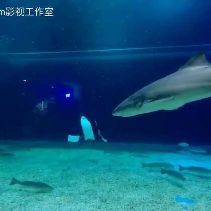 自由潜与鲨鱼共舞!#美拍运动季##自由潜水##潜水摄影#潜水地点:石家庄海洋公园 鲨鱼种类:黑白鳍鲨,护士鲨 拍摄设备:SONY a6500, Gopro 5 摄像师:十三FILM 焰十三