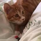 这是养了一只假猫😢(领养人的回访视频)。希望每一个流浪的毛孩子都有一个温暖的家,#热门##搞笑宠物##萌宠##领养代替购买#交友微信:956326118。(领养只限西安)
