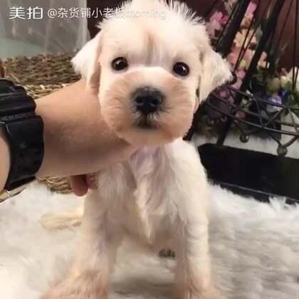 #雪白雪纳瑞##雪纳瑞#现在不帮朋友卖狗啦,但偶尔浙江的单子还接,有好视频还是会发的