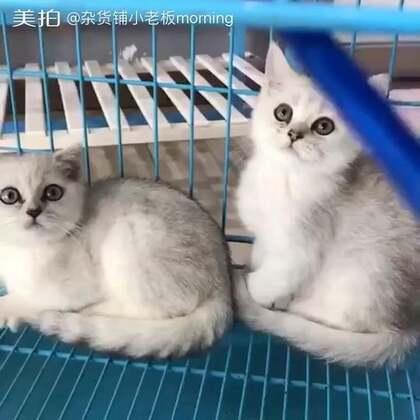 #萌宠##英短银渐层#猫咪就喜欢这种东西哈哈哈