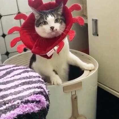 #宠物#一只站着拉屎的螃蟹喵,简直是霸气侧漏呀……😂😂😂