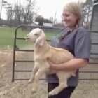 """""""麻麻,麻麻!其实...我是一只羊啦...."""""""