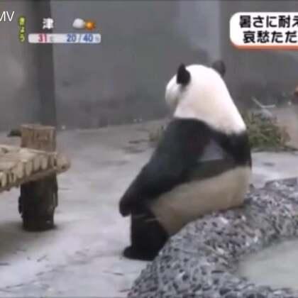 #宠物#熊猫热到怀疑人生,网友看乐了😂@美拍小助手 喜欢请点赞+转发 更多精彩请关注微博:一起看MV