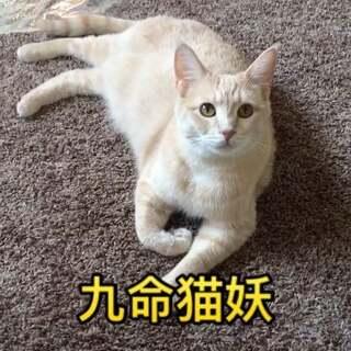 🙈🙈打不死的Cheese~~(😂最近Cheese特喜欢半揣小手,不知道是什么原因,是想揣手卖萌却奈何天气太热吗?)#宠物##《中枪舞》##阿猫拍有戏#