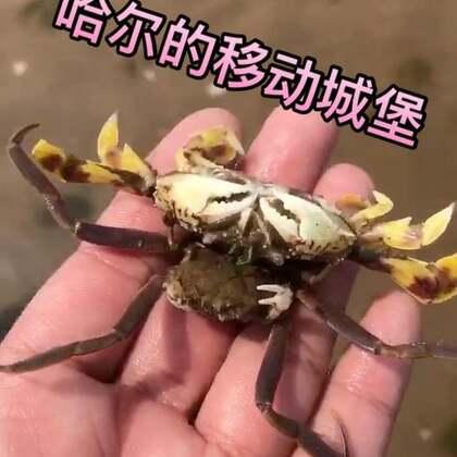 这就是传说的哈尔的移动🏰嘛?这个螃蟹叫关公蟹最喜欢的事情就是背着自己心爱的玩具到处的乱爬,源鲜生野生冷水海鲜👉http://shop.m.taobao.com/shop/shop_index.htm?user_id=37948246 #美食##宠物#