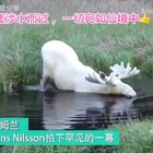 纯白驼鹿涉水而过 ,一切宛如仙境中👍#宠物##精美电影##热门#