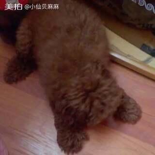 #宠物#找宝藏的小仙贝😂😂(胎毛没剃之前的小玩具)#寻找宝藏##家有泰迪初长成#