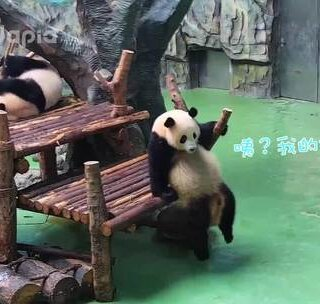 #萌团子陪你过周末##大话熊猫#星一同学为什么到处找自己的拖孩?原因又是什么呢?😜