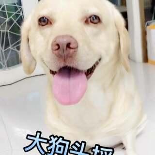 #小布的日常生活##大头摇##宠物#