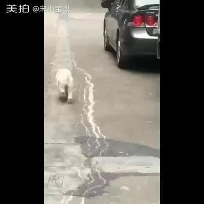 狗狗热恋了,瞧把它高兴的😒 #搞笑##美拍运动季##宠物狗狗#
