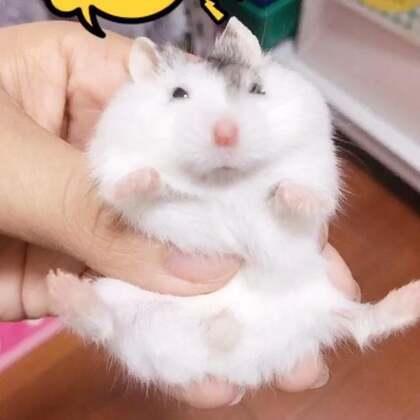 我一定养了一枚假一线😏😏#仓鼠##萌宠小仓鼠##仓鼠的日常#