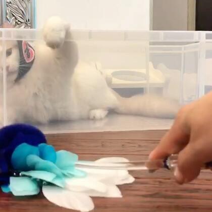 #美拍日记#有的时候傻猫比某些聪明的猫好玩多了……😂😒(这个箱子买给猫做玩具真的不错)#宠物##箱子里的猫#