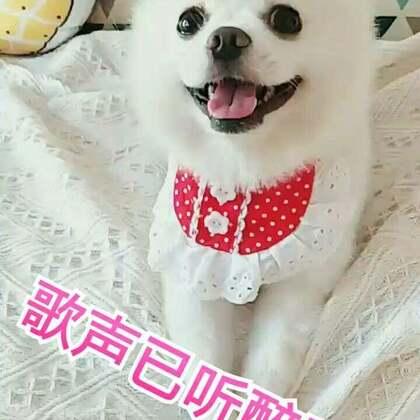 #宠物有戏大赛#小旺仔献上一首歌,祝大家七夕快乐❤❤#宠物##我的宠物萌萌哒#🌸🌸