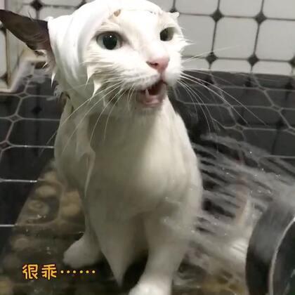 #美拍日记#莎莎洗澡啦!📢📢封面莎莎在说:水温正好,合朕的心意……#宠物#