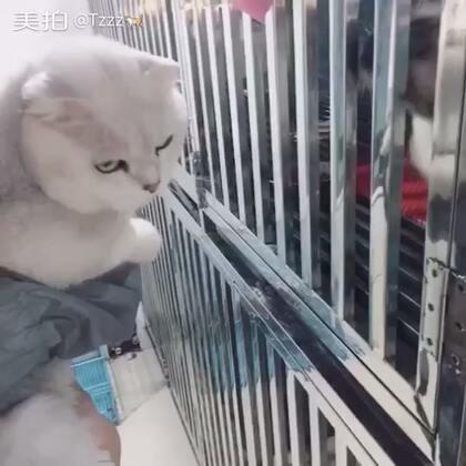 带angel哥去宠物店 被一只小母猫看上了 一直用小爪子蹭他 可惜他一点反应也没有😂#萌宠##苏格兰折耳猫#