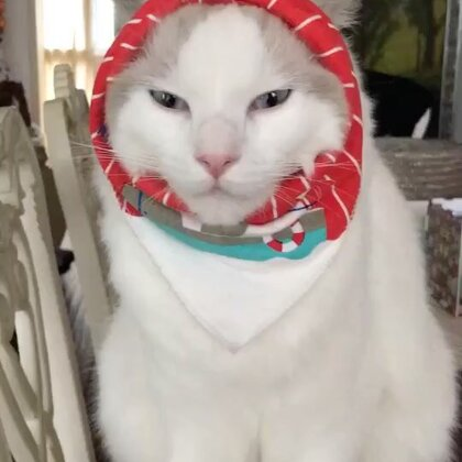 #宠物#脑袋被绑住,不开森😑,就是不看镜头😤,本喵也是有脾气的🙄……😂😂😂(扎的很松,没有虐猫)