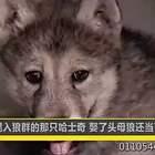 哈士奇混入狼群,娶了母狼,还当了爹,真是狗生赢家啊!#宠物#