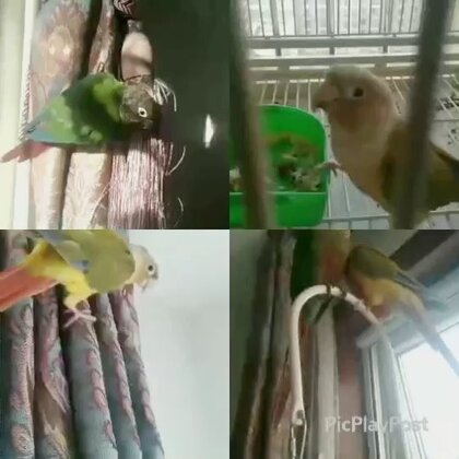 没良心的鸟!我不在的日子,几只依然玩的很嗨皮!#宠物##我的宠物萌萌哒##小太阳鹦鹉小哥哥和妹妹#