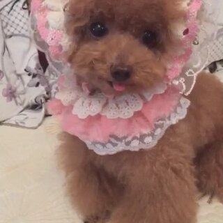 #宠物#-💖公主-甜心💖-(库存)公主:嘻嘻,装扮奶娃肯定不能少了伦家这小奶声耶😝(哈哈,姨姨、姐姐们😘,听到这嗲嗲小奶声你们醉了不🙈)#我的宠物萌萌哒##穿秀#