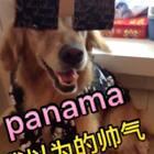 #panama恶搞版#让Nicole停留在C哩C哩的世界里吧@宠物频道官方账号 @美拍小助手 #金毛##宠物#