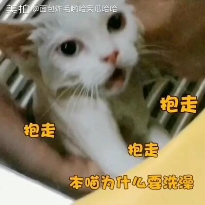 """""""哈哈""""猫生第一次洗澡🛀因为之前医生说有真菌要药浴所以就去宠物医院了🐱之前听猫怕水还有点忐忑,结果感觉洗澡还是呆呆的比哟哈🐶洗澡要淡定,就放心了。现在五个半月洗完澡吹完毛胖一圈后感觉有点大猫的正经样子了,莫名感觉有点往它爸的猪头脸发展🐷😂视频最后是哈哈的爹娘照😂#宠物#"""