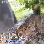 一场暴雨淹没了狗狗的家,狗妈妈拼尽全力营救溺在水中的狗宝宝,她奋不顾身潜进水里,最后终于把狗宝宝成功救了出来!救援人员给小奶狗做了心肺复苏,挽救了小奶狗的生命。#宠物##感动#
