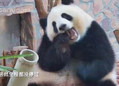 #大话熊猫#欢迎大家收听本期主题曲---《月半小夜曲》
