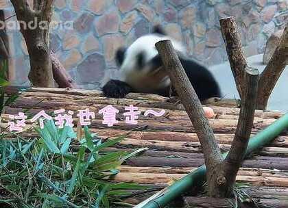 #萌团子陪你过周末# 好吃的都是我囡囡的!窝头,我的!苹果,我的!竹子,我的!